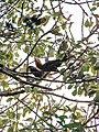 Bird Wreathed Hornbill Rufous-necked Hornbill IMG 4614 04.jpg