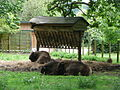 Bison bonasus in Howletts Wild Animal Park.jpg