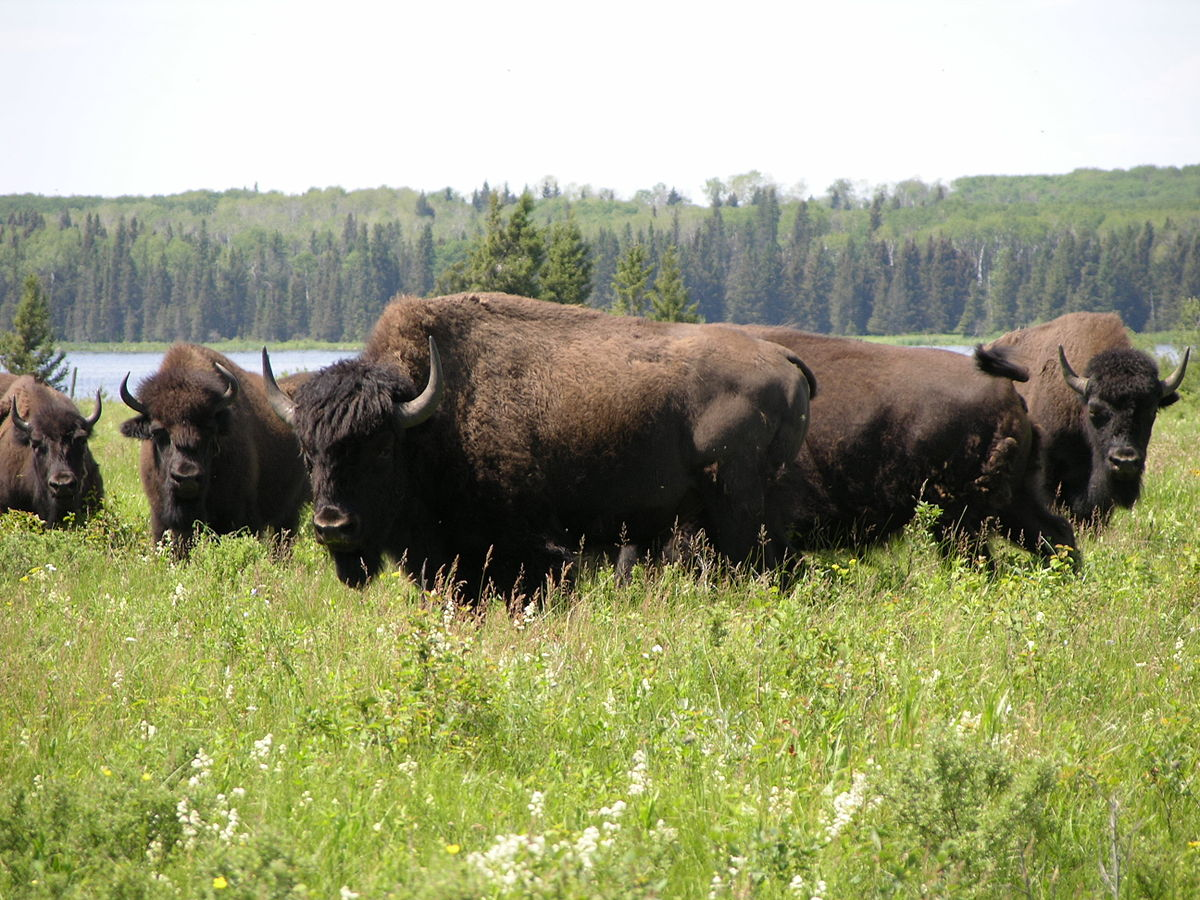 File:Bison herd - Lake Audy - Riding Mountain National Park.JPG ...