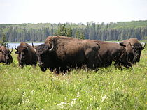 Herde de bisons dans le parc national du Mont-Riding