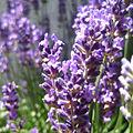 Blühende Lavendelpflanze.jpg
