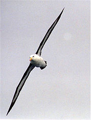 Black-browed Albatross at south georgia.jpg