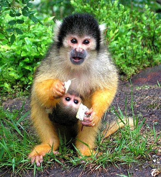 File:Black-capped Squirrel Monkey+baby (Saimiri boliviensis).jpg
