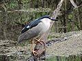Black-crowned night heron 2-25-14.JPG