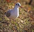 Black-headed gull (31560289131).jpg