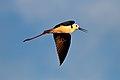 Black-winged Stilt (29856184041).jpg