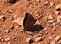 Black Prince Rohana parisatis male by Dr. Raju Kasambe DSCN4904 (5).jpg