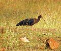 Black ibis (Pseudibis papilosa).jpg