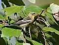 Blackburnian Warbler (37773205932).jpg