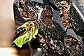 Blattschneiderbiene (35221985890).jpg