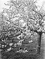 Bloeiende fruitboom in de Betuwe met van der Polls stiefdochters Hans en Renée, Bestanddeelnr 189-1392.jpg