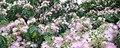 Blossom (2545825838).jpg