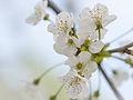 Blossom (9026755673).jpg