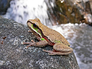 Blue-Mountains-Tree-Frog444.jpg