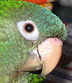 Blue-crowned Parakeet (Aratinga acuticaudata) -head.jpg