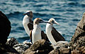 Blue-footed boobies (4201783625).jpg