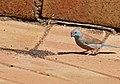Blue Waxbill (Uraeginthus angolensis) male (32286090322).jpg