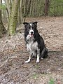 Blue mottled border collie2.jpg