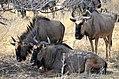 Blue wildebeest at Etosha National Park.jpg