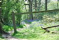 Bluebells and footpath in Duncliffe Wood - geograph.org.uk - 410847.jpg