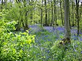 Bluebells in Ashby Gorse - geograph.org.uk - 493910.jpg