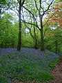 Bluebells in Purley Woods - geograph.org.uk - 7913.jpg
