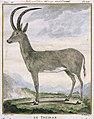 Bluebuck by Allamand, 1778.jpg