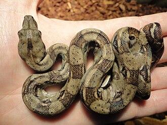 Boa constrictor - Juvenile South American boa constrictor