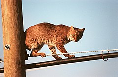 A male Bobcat in an urban surrounding (standing on wires)