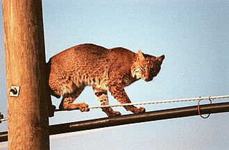 Bobcat - Bobcat in urban surroundings: The species' range does not seem to be limited by human populations, as long as it can still find a suitable habitat.