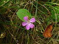 Bodziszek cuchnący. (Geranium robertianum L.).jpg