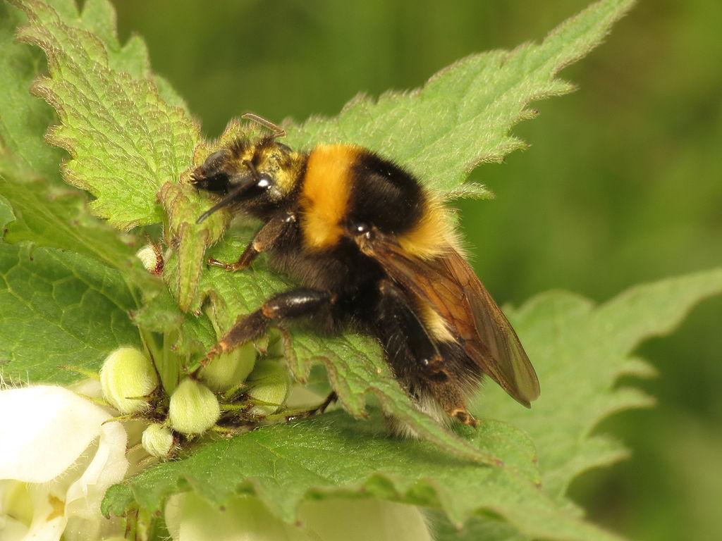 Garden Bumblebee (Bumblebees of New Zealand) · iNaturalist.org