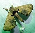 Bombycidae, Apatelodinae. Apatelodes species. Silkworm Moth - Flickr - gailhampshire (1).jpg