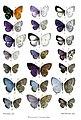 BorneanLycaenidae2Purkiss.jpg