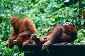 Bornean Orangutans (Pongo pygmaeus) (14582338781).jpg