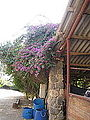 Bougainvillea outside the stable (4062685543).jpg