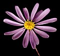 Brachyscome iberidifolia - Flickr - Kevin Thiele.jpg