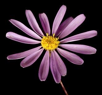 Brachyscome iberidifolia - Close-up of flowers