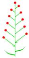 Brakteose beblätterung (inflorescence).PNG