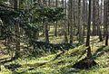 Branches of a silver fir in Gullmarsskogen.jpg