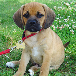 Gifts for Puggle Dog Lovers