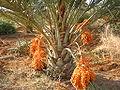 Brazilian Date Palm.jpg