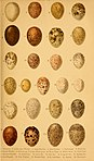 British birds' eggs and nests - popularly described (1870) (14568589758).jpg