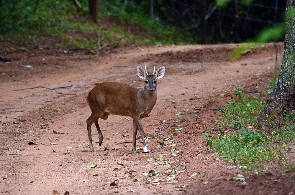 The average litter size of a Gray brocket is 1
