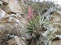 Bromelia Species (5733986903).jpg