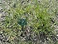 Bromus tectorum - Copenhagen Botanical Garden - DSC08051.JPG