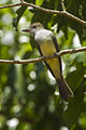 Brown-crested Flycatcher - REGUA - Brazil S4E1327 (12930053153) (2).jpg
