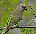Brown-headed Parrot (Poicephalus cryptoxanthus) (11688946544), crop.jpg