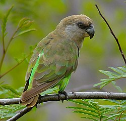 Brown-headed Parrot (Poicephalus cryptoxanthus) (11688946544), crop.jpg