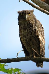 Brown Fish Owl (Ketupa zeylonensis) in Thrissur, Kerala.JPG